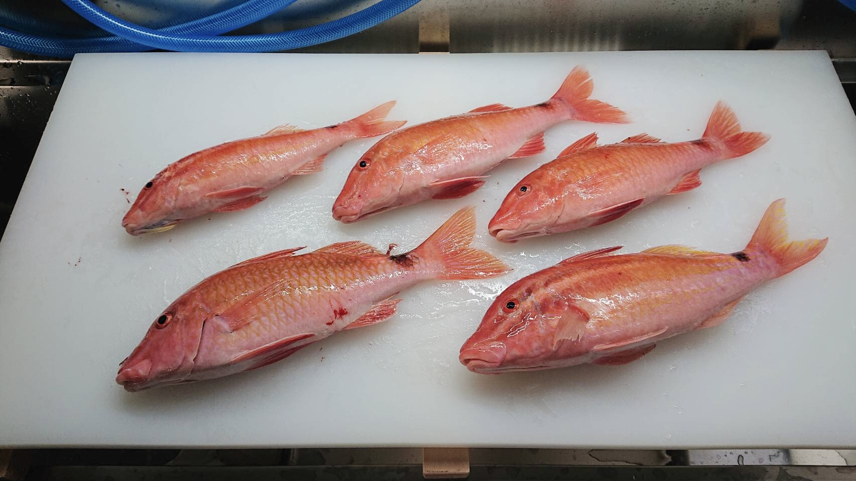 ヒメジ(オジサン)未利用魚